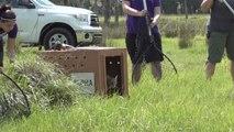 Wild Bobcat Is Free To Go