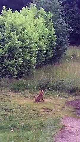 Fox Dive-Bombed By Crows