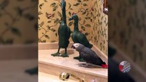 Affectionate parrot gives duck statue a kiss