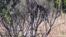 Una lotta impressionante tra due leopardi finisce a vantaggio di un facocero (VIDEO)