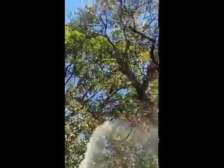 Sabarimala Banyan tree
