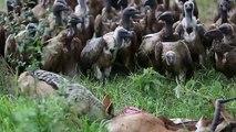Des vautours sautent sur une carcasse quand un chacal a fini de se servir !