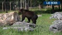 Des ours bruns au Domaine des Grottes de Han,