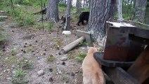 Le monde à l'envers: ce chat fait fuir un ours !