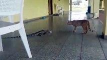 Un chat se retrouve face à un gros lézard... Peur de sa vie