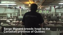 Quebec hog farmer reacts following China's ban on Canadian meat