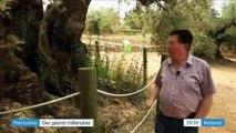 Espagne : les oliviers plantés sous l'Empire romain sont désormais bichonnés