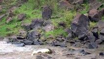 Great Migration River Crossing Masai Mara, Kenya - Zebras & Wildebeests @Lowisan