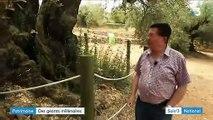 Espagne : des oliviers millénaires sauvés par les habitants