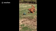 Confused US dog barks at popped football after it 'hisses' at him