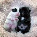Ces bébés bulldog font fondre tout les cœurs. Trop mignon !