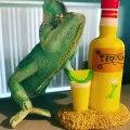 Ce caméléon aime bien jouer avec de la tequila. Trop drôle !