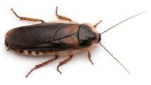 How Cockroaches Are Becoming Invincible