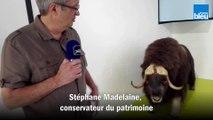 Le_conservateur du patrimoine Stéphane Madelaine nous parle du bœuf musqué