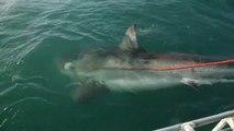 Ces touristes croisent un énorme grand requin blanc. Rencontre terrifiante