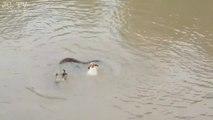Des chiens intrépides poursuivent un anaconda dans l'eau