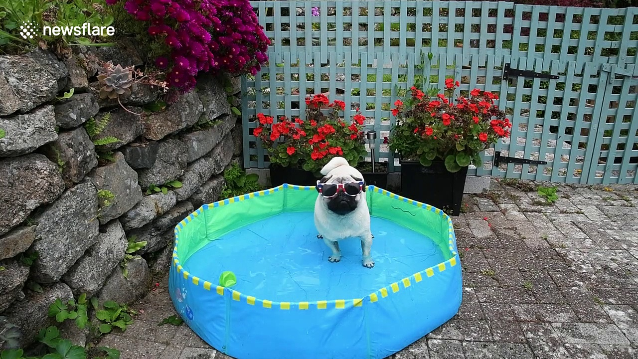 Pug keeps cool in the UK in paddling pool