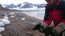 Arctic fox makes 2,176-mile, 76 day journey