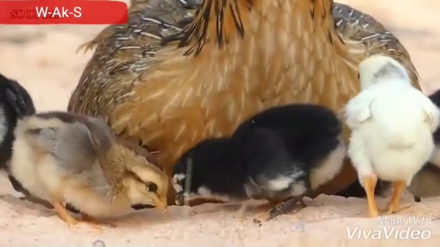 Real Eagle Attack Chicken Home – Brave Hen_s Mother Protect and Save Her Baby Chickens From