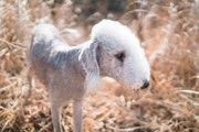 Les races de chien les plus moches