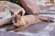 Les plus petites races de chats
