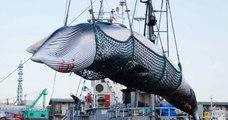 C'est désormais officiel, le Japon a relancé la chasse à la baleine, 30 ans après