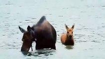 Regardez cet élan et son petit buvant dans l'eau. Magnifique spectacle !