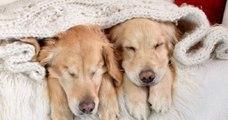 Ce chien aveugle ne peut plus se passer de sa meilleure amie, chienne guide, et c'est trop touchant !