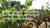 Canicule: des vignerons de l'Hérault face à des grappes brûlées