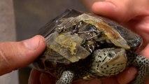 Des tortues soignées avec des agrafes de soutiens-gorge usagés