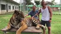 Tiger Hits Man in Crotch With Their Paw