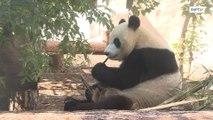 Чета китайских медведей жуют бамбук под пристальным вниманием столичной публики в Московском зоопарке