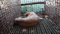 L'association One Voice dévoile des images choquantes d'un élevage de visons