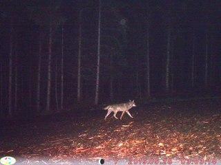 Un loup a tué un agneau et un bouc à Ranrupt