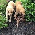 Ce bébé Faon rencontre 2 chiens !
