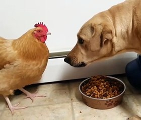 A dog stands at a bowl of food. A chicken...