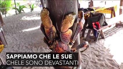 Un granchio del cocco attacca un uccello
