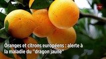 Oranges et citrons européens : alerte à la maladie du « dragon jaune »