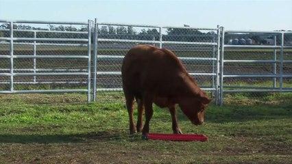 Rosita Isa, la vache à lait maternel
