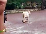 Cette vache joue au foot peut-être mieux que Messi