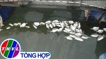 THVL | Cá nuôi lồng trên sông Chà Và, Bà Rịa - Vũng Tàu lại chết hàng loạt
