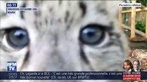 Les adorables images de ces bébés léopards des neiges vont vous faire craquer