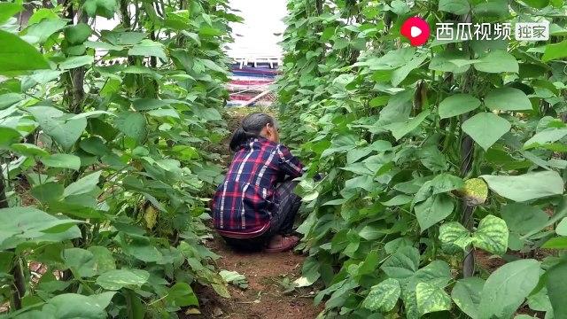 农村四哥:王四出门办事,老妈从土里摘2斤四季豆,土灶一炒挺下饭