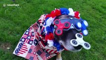 Patriotic pup dressed from nose to tail in US paraphernalia to celebrate Independence Day
