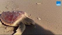 Retour à l'océan pour trois tortues marines sur la plage de la Conche à St Clément des Baleines sur l'île de Ré