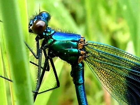 libellule bleu mâle, en gros plan .Calopteryx splendens.