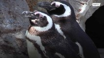 Same-sex penguin couple become best daddies at SF Zoo