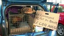 Rochefort: procès du coq Maurice, accusé de chanter trop tôt