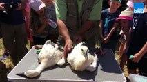 Bébés cigognes bagués à Coin-les-Cuvry