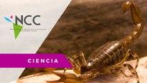 Los ojos laterales de los escorpiones sí son funcionales